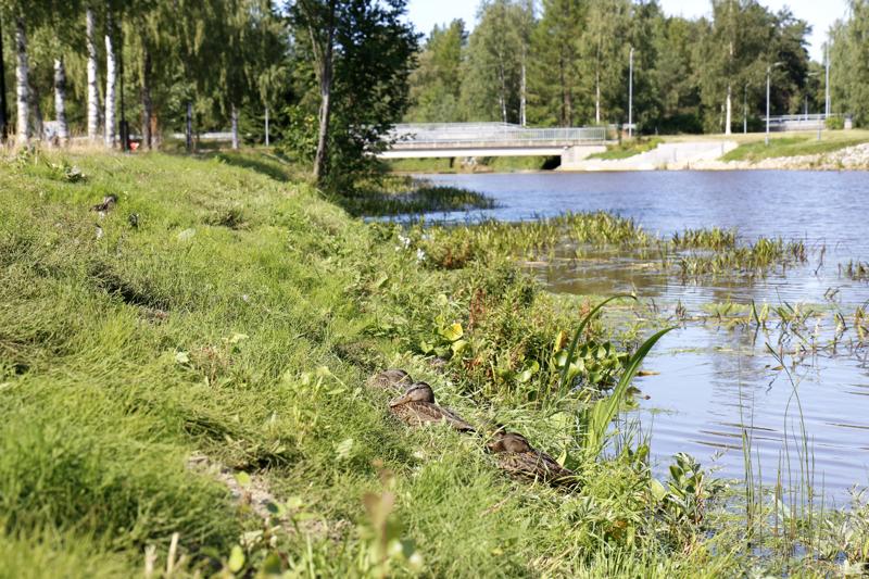 Vesikasvit puskevat pintaan Suntissa. Hollihaan puiston kohdalla ongelma ei ole pahimmillaan. Rantaheinikko antaa hyvän suojan sorsille.