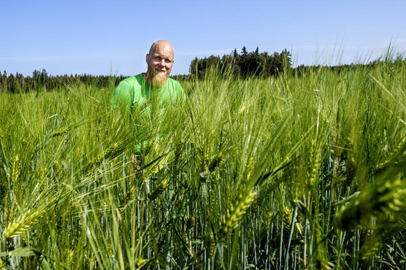 Kokkolalaisen viljelijän Tapani Orjalan mukaan sateet eivät auta kasvua enään tässä vaiheessa.