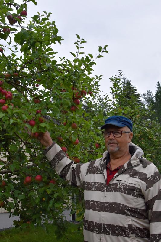 Onnea! Mauno Paavolan pihan omenapuut antavat pian satoa. Omenoita säilötään muun muassa hilloksi.