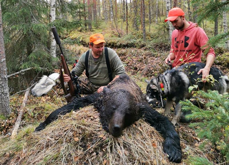 184-kiloisen uroskarhun ampui Jani Puolitaival Haapaveden jahtiporukasta, koiramiehenä toimi Atte Hoikka Haapajärveltä.