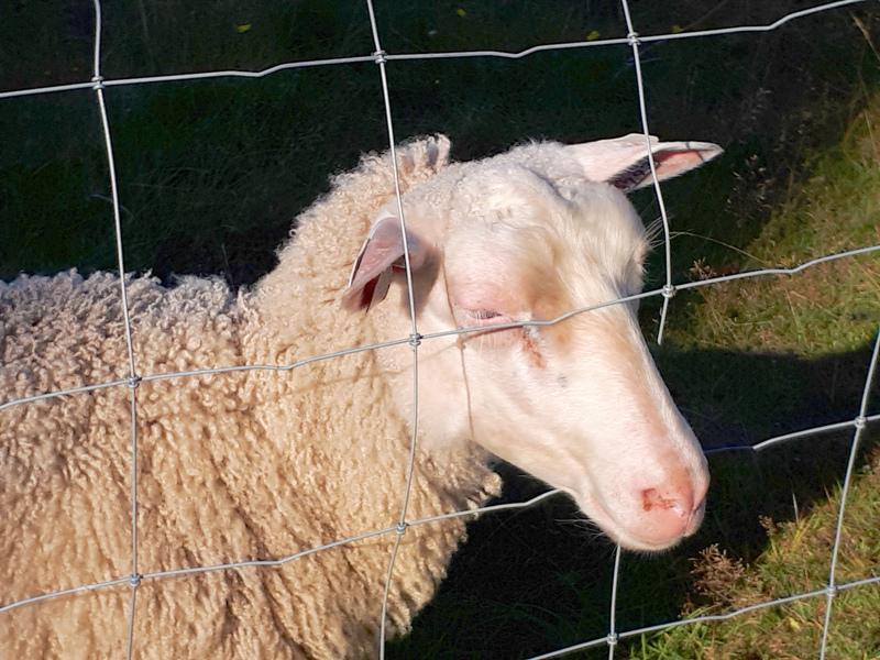 Harrbådan tuttavallinen lammas.