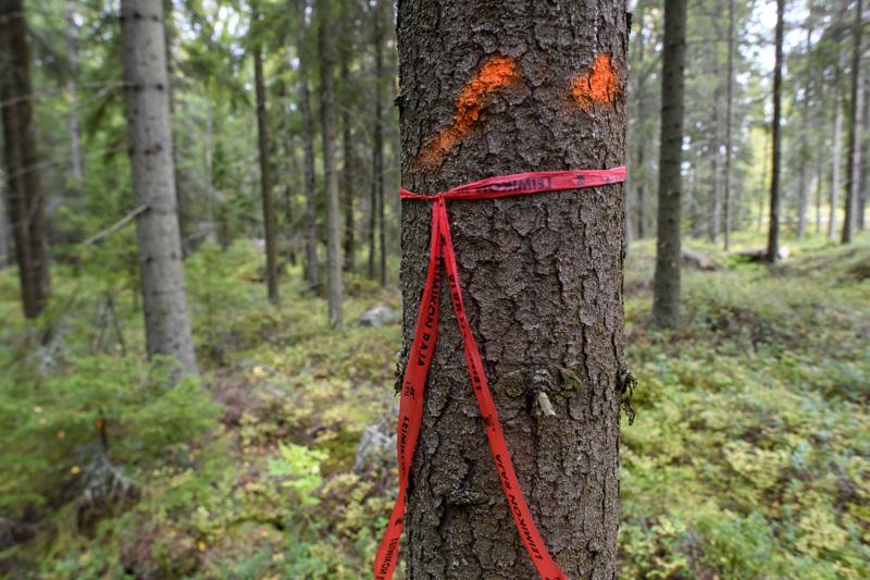 Mitä puita kaadetaan ja mitä jätetään, on tarkkaa hommaa liito-oravan pesimäseudulla. Punatäpläiset puut jätetään. Nauhalla merkattu puu saattaa olla pesäpuu.