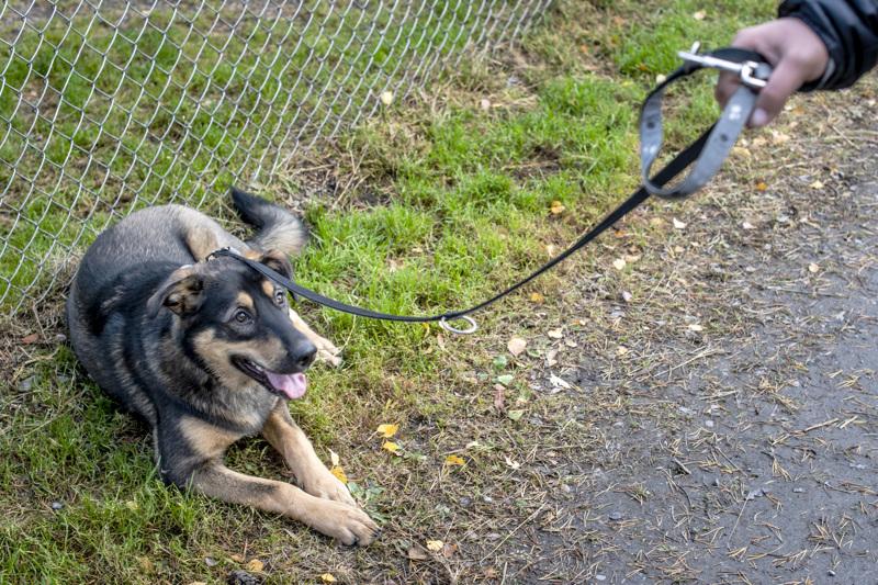 Lulu-koira lähti rauhassa Pikiruukin koirapuistosta omistajansa kanssa kiinteän mittaisessa talutushihnassa. Lulussa on saksanpaimenkoiraa ja itäsiperianlaikaa.