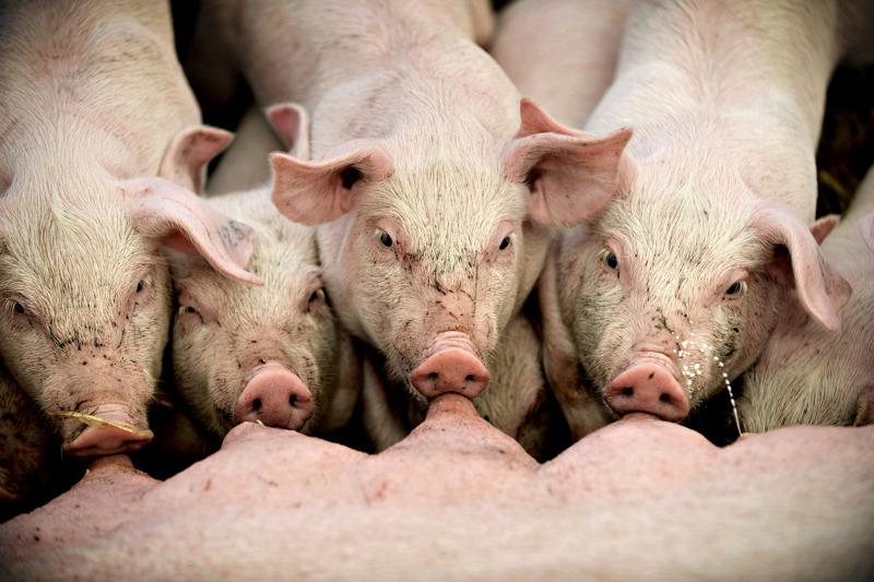 Pellervon mukaan maataloudessa erityisen vaikeassa tilanteessa ovat sianlihan tuottajat.