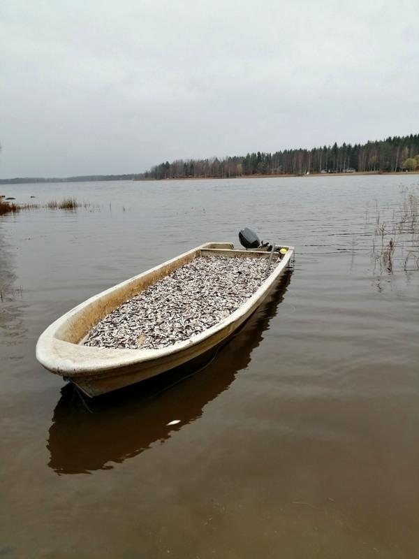 Vatjusjärven maanantaisen saaliin kuljettaminen maihin vaati kolme kuljetuskertaa. Kerralla veneeseen mahtuu reilut 2000 kiloa kalaa.