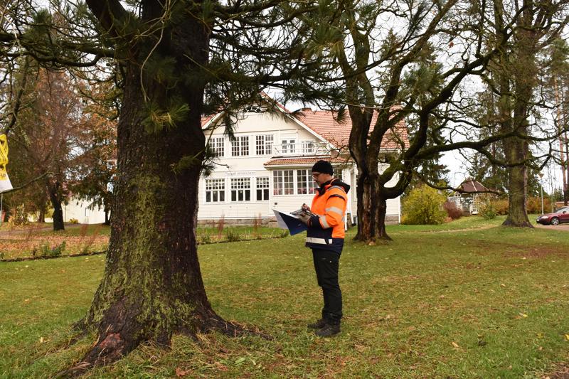 Vuonna 1906 istutetut sembramännyt ovat Noran puiston vanhimpia puita. Arboristi Markku Laitila arvioi, että kuvassa etualalla olevalla männyllä on vielä elinkaarta jäljellä, mutta taaempi puu osoittautui mikroporauksessa sisältä täysin lahoksi.