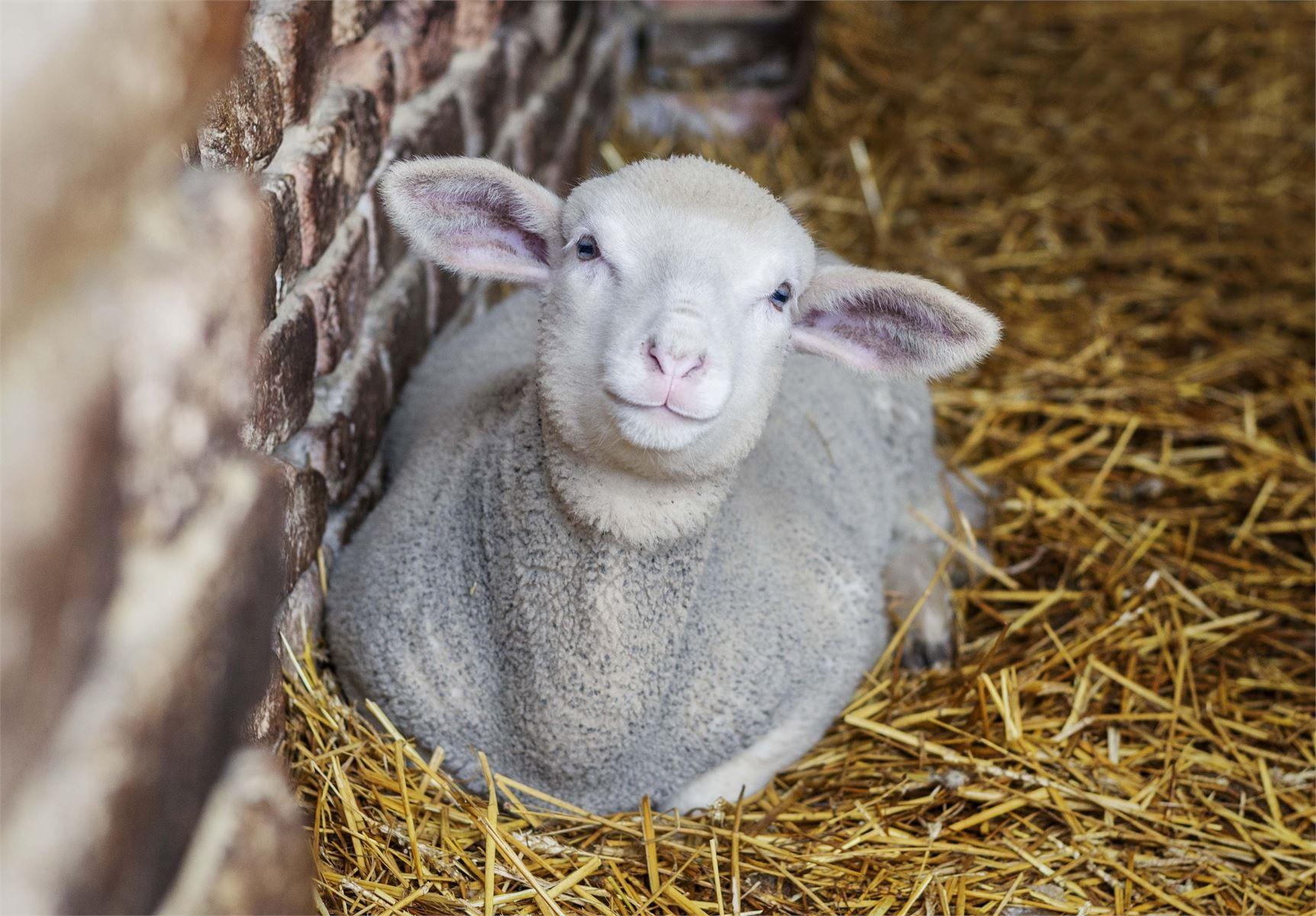 Pihapiiriin tulee lampaita ja muita kotieläimiä lasten iloksi.