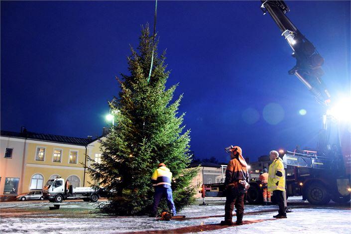 Joulukuusi saapui Pietarsaaren torille torstaina aamulla ja sen pystys sujui varmoin ottein. Tuuheaoksaisen kuusen kävi kaatamassa kaupungin metsästä metsuri Veijo Svart 38 vuoden tuomalla kokemuksella.  Kuva: Pirkko Högkulla