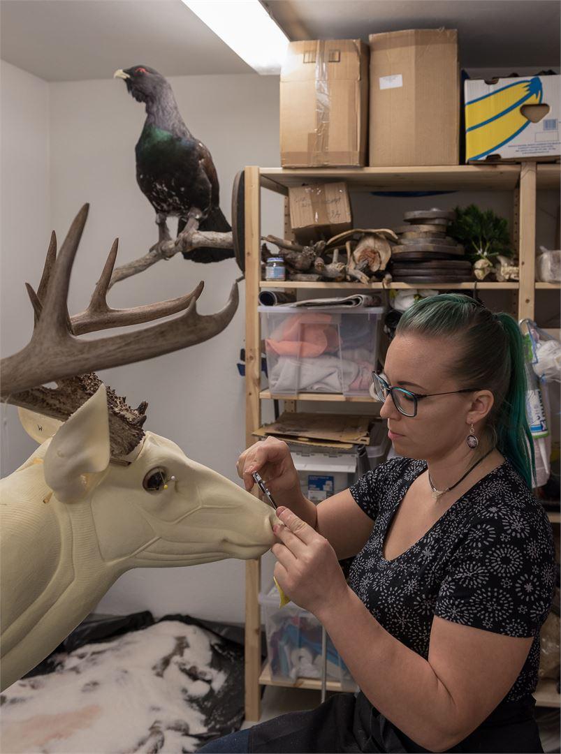 Tässä Lempiäinen keskittyy valkohäntäpeuran hartiatäyttöön. Kuva: Arja Vesterholm.